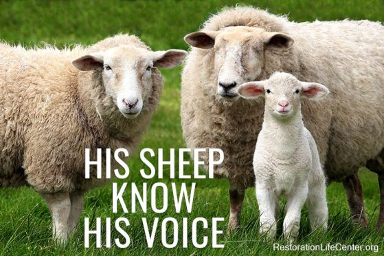 His Sheep Know His Voice . . .